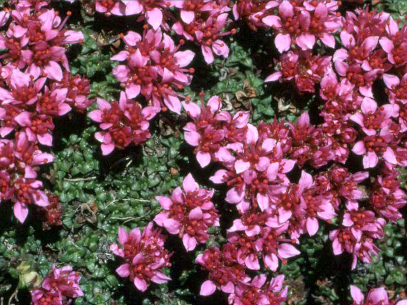 Chanousia gli ambienti del giardino botanico alpino for Cespugli fioriti perenni resistenti al freddo